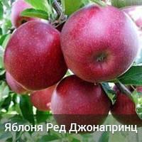 Саженцы яблони Ред Джонапринц