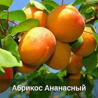 Саженцы абрикоса Ананасный ( однолетний )