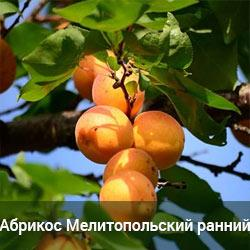 Саженцы абрикоса Мелитопольский ранний (однолетний)