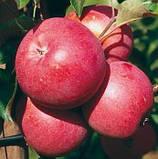 Осенние сорта яблок