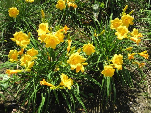 Лилейник Стелла де Оро. (Hemerocallis Stella de Oro) Карликовый
