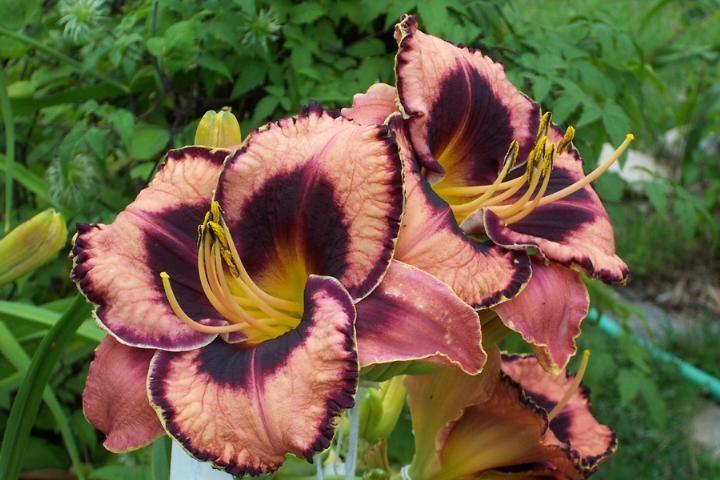 Лилейник гибридный Awesome Blossom (Овесом Блоссом)