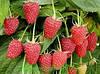 Рекомендации по выращиванию малины