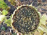 Гібрид турецького врожайного соняшника СІРЕНА МС, Насіння стійке до 5 п'яти рас вовчка A-Е СИРЕНА МС, Май Сід., фото 2
