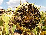 Гібрид турецького врожайного соняшника СІРЕНА МС, Насіння стійке до 5 п'яти рас вовчка A-Е СИРЕНА МС, Май Сід., фото 3