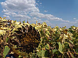Гібрид турецького врожайного соняшника СІРЕНА МС, Насіння стійке до 5 п'яти рас вовчка A-Е СИРЕНА МС, Май Сід., фото 4