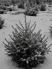 Ель европейская  Высота 1,8 - 2 м., фото 2