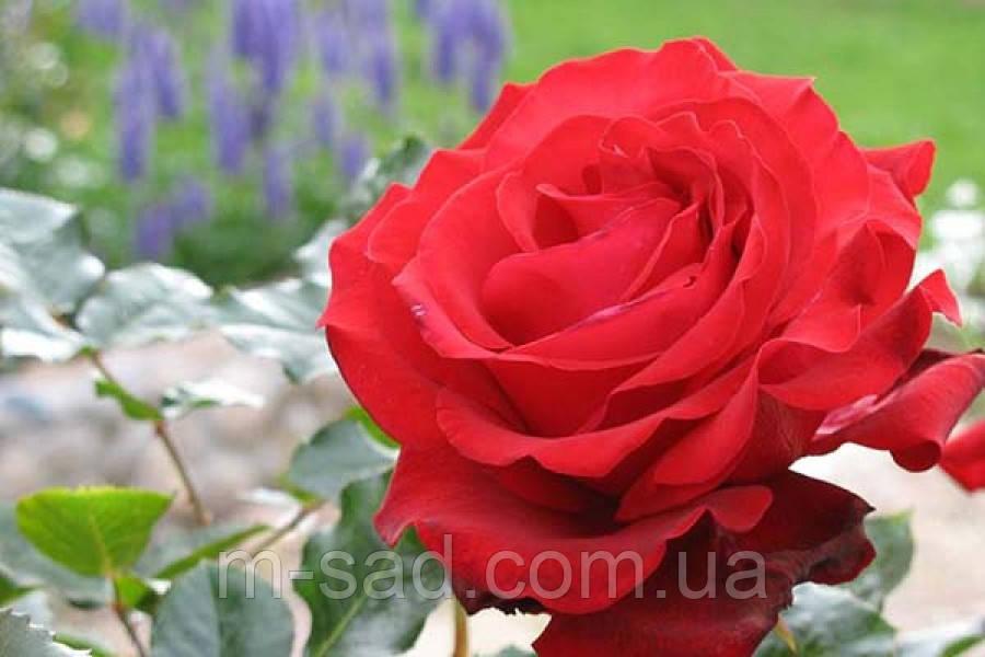 Саженцы роз Гранд Гала