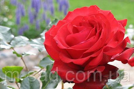 Саженцы роз Гранд Гала, фото 2