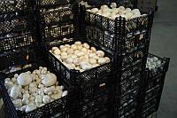 Большой блок. Комплект для выращивания шампиньона . (Мицелий грибов Шампиньонов засеян в компост)