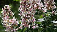 Каштан конский цветки 100 грамм