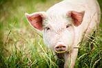 Состав витаминных премиксов для откорма свиней и коров