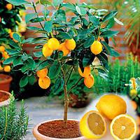 Egrow 20 шт/пакет Семена съедобного желтого лимона Домашние садовые цитрусовые семена свежего лимонного фруктового дерева бонсай 1TopShop