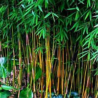 Egrow 20Pcs/Сумка Черный Bamboo Семена Редкий Гигантский черный мозо Бамбук Bambu Семена Bambusa Lako Дерево Семена 1TopShop