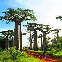 Egrow 5Pcs/Сумка Adansonia Digitata Baobab Дерево Семена Редкий Baobab Семена Тропический Растение Сад Семена 1TopShop