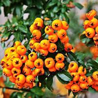 Egrow 100Pcs/Сумка Pyracantha Семена Yellow Pyracantha Fortuneana Огнетушитель Многолетнее дерево Бонсай Семена 1TopShop