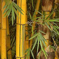 Egrow 50pcs/Сумка Золотой бамбук Семена Новый Semente Редкий Золотое дерево бамбука Семена для дома Сад Растения 1TopShop