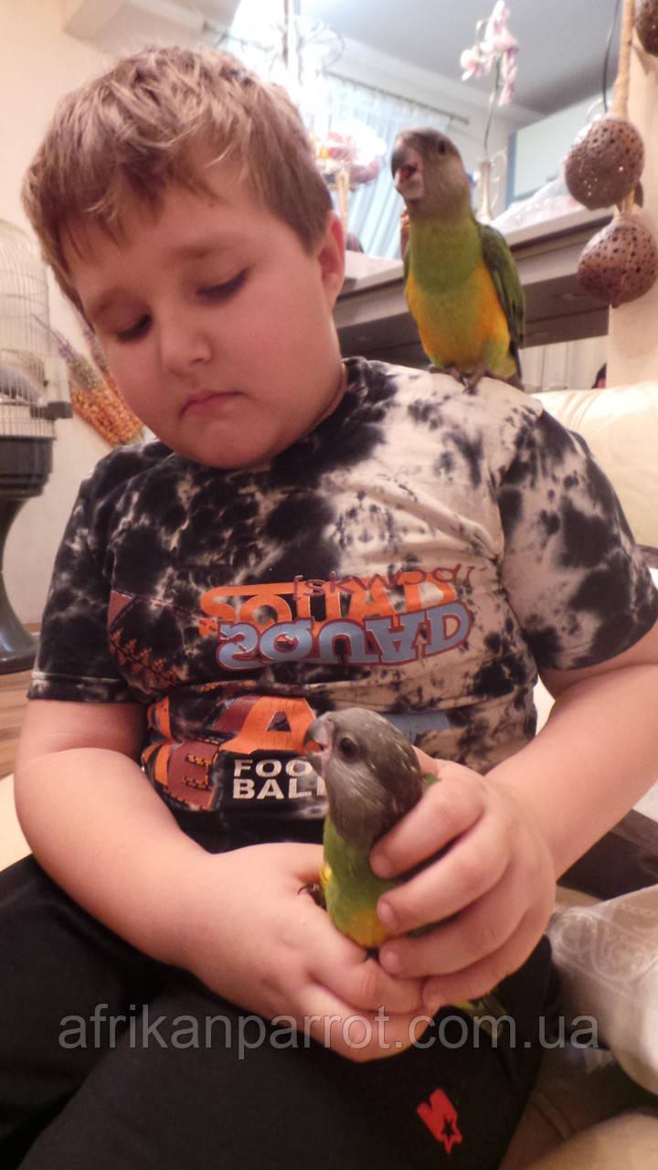 Сенегальский попугай (ручные малыши, докормыши)