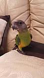 Сенегальский попугай (ручные малыши, докормыши), фото 2