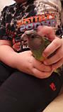 Сенегальський папуга (ручні малюки, докормыши), фото 3