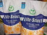 Гибрид ЕС Саксон устойчивый к семи расам заразихи A-G. Семена подсолнечника ЕС Саксон урожайные 42ц. Стандарт, фото 8