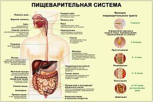 Пищеварительная система,обмен веществ, гепатопротекторы, пробиотики.