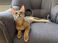 Кошечка Чаузи Ф2 украинского питомника Royal Cats. (Девочка 14/07/18), фото 1