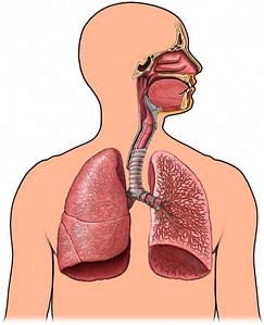 Дихальна система, грип, застуда, пневмонія, бронхіт, синусит, гайморит