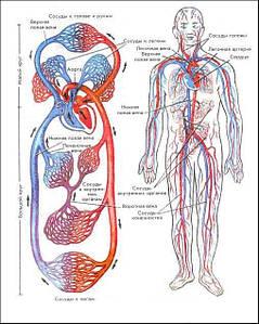 Серцево-судинна і венозна система