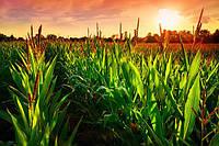 Как выбрать гибрид кукурузы МАИС и не состариться?