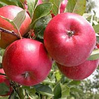 Саженец яблони Энтерпрайз (Enterprayz)