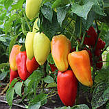 Семена перца сладкого Яника F1 (250 сем.) Kitano, фото 2