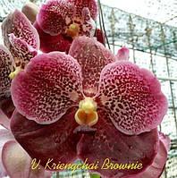 "Подростки орхидеи. Ванда V. Kriengchai Brownie без цветов, размер 1.7""., фото 1"