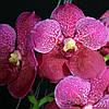 """Подростки орхидеи. Ванда V. Dr. Anek без цветов, размер 1.7"""""""