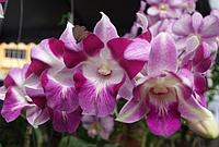 "Подростки орхидеи. Дендробиум Dragon king без цветов, размер 1.7"""