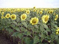 Семена подсолнечника сербской селекции ДИНАРА