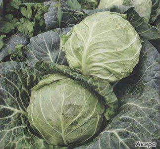 Семена капусты б/к Акира F1 (2500 сем. калибр.) Kitano