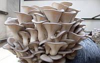 Мицелий грибов вешенка  4  кг на зерновом субстрате