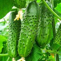 Семена огурца Нежинский