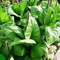 Професійні насіння тютюну в банках