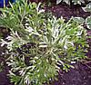Туйовик японський Variegata 3 річний, Туевик Японский Вариегата, Thujopsis dolabrataVariegata, фото 2