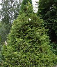 Туйовик японський Variegata 3 річний, Туевик Японский Вариегата, Thujopsis dolabrataVariegata, фото 3