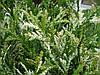 Туйовик японський Variegata 3 річний, Туевик Японский Вариегата, Thujopsis dolabrataVariegata, фото 4