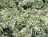 Кипарисовик Лавсона Pearly Swirls 3 річний, Кипарисовик Лавсона Перли Свирлс, Chamaecyparis lawsoniana Pearly , фото 2