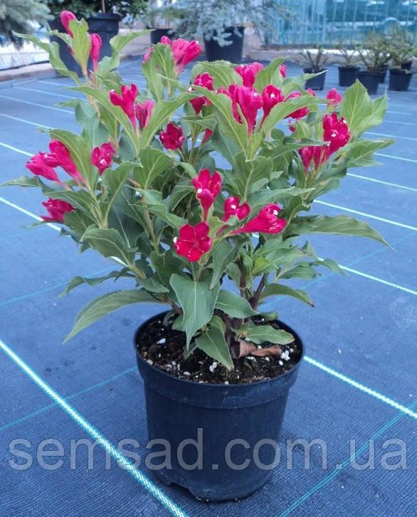 Вейгела цветущая БРИСТОЛ РУБИ ( саженцы 3 года )