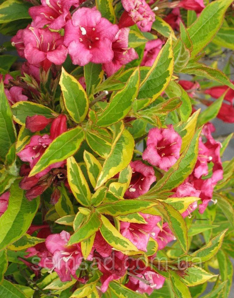 Вейгела цветущая БРИГЕЛА ( саженцы 3 года)