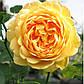 Роза Голден Селебрейшн, фото 2