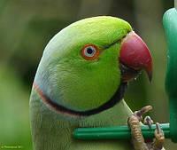 Аренда попугаев, канареек, амадин, животных.