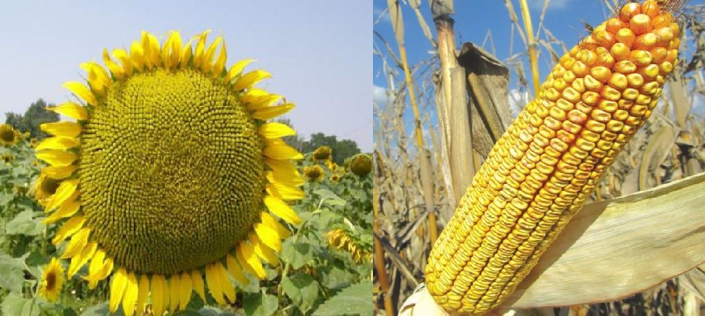 Семена подсолнечника Украинский скороспелый