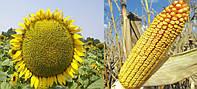Семена подсолнечника шенон